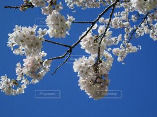 桜の枝と青空の写真・画像素材[1535616]