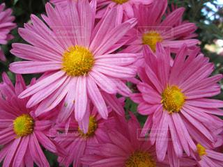 カラフルな花の植物の写真・画像素材[1613446]