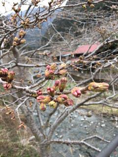 桜の木と川の写真・画像素材[1976486]