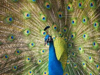 羽根を広げた孔雀の写真・画像素材[1451913]