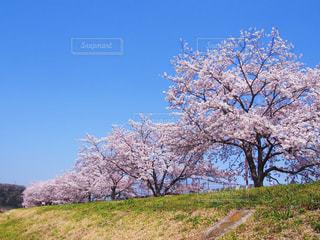桜の写真・画像素材[1451916]
