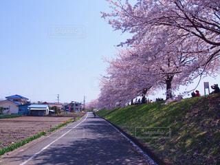 どこまでも続く桜の写真・画像素材[1451917]
