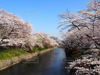羽村の桜の写真・画像素材[1451921]