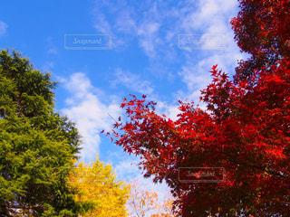 青空の下の紅葉の写真・画像素材[1451960]