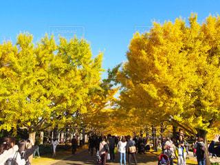 昭和記念公園の銀杏並木の写真・画像素材[1451961]