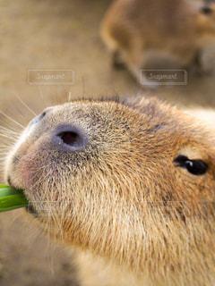 食事中のカピバラの写真・画像素材[1464360]