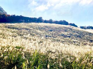 ススキ野原の写真・画像素材[1580690]