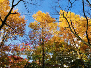 色づく木々の写真・画像素材[1582622]