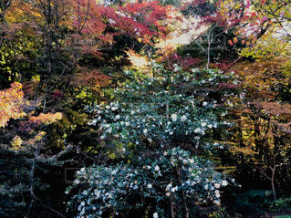 紅葉と椿の写真・画像素材[1638368]