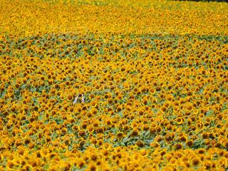 黄色い夏の写真・画像素材[499622]