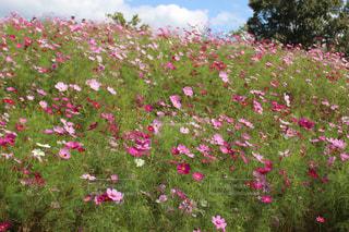 フィールドにピンクの花の写真・画像素材[1549259]