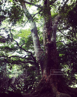 ご神木の写真・画像素材[1455900]