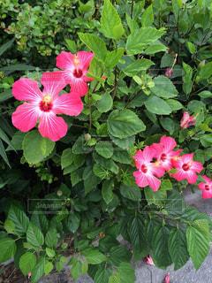 沖縄のハイビスカスの写真・画像素材[1456732]