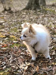 落ち葉の上に立っている白い小さな犬の写真・画像素材[1457526]