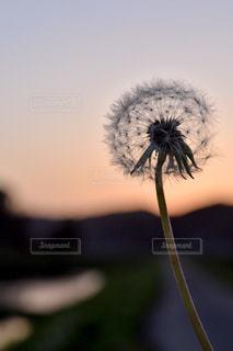 風に揺れるたんぽぽの綿毛の写真・画像素材[1460025]