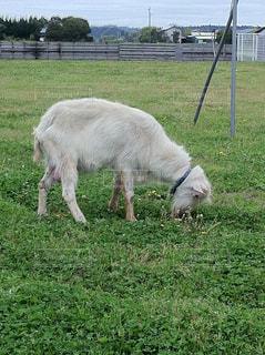 草を食むヤギの写真・画像素材[1460139]