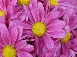 ピンクの美しいスプレーマムの写真・画像素材[1559848]