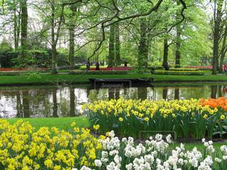 新緑と水際のスイセンガーデンの写真・画像素材[1577942]
