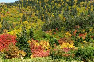 立山弥陀ヶ原の美しい紅葉の写真・画像素材[1609332]