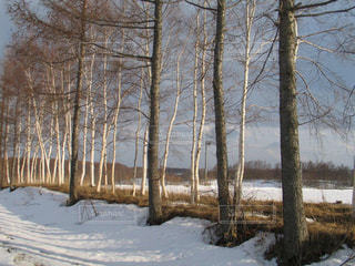 北海道の雪化粧された白樺の風景の写真・画像素材[1664238]