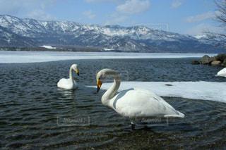 雪山と阿寒湖の美しい白鳥の写真・画像素材[1664317]