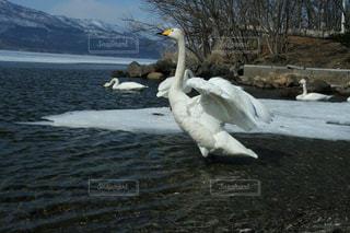 阿寒湖の白鳥の写真・画像素材[1664338]