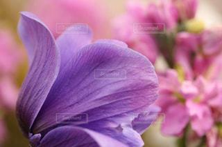 淡い紫の花のアップの写真・画像素材[1694710]