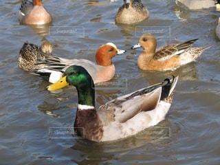 三島池の美しく可愛い鴨たちの写真・画像素材[1716212]