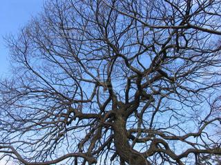冬の青空に映える美しい枝ぶりの写真・画像素材[1718630]