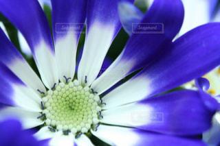 美しいブルーのサイネリアの写真・画像素材[1722575]