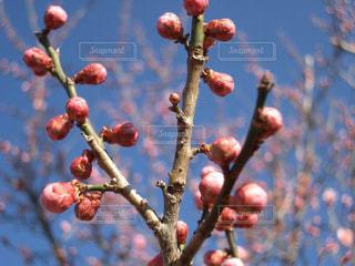 青空と美しい梅の蕾の写真・画像素材[1761842]