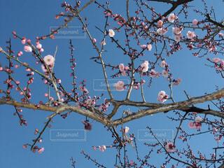 繊細な梅の蕾と美しい花の写真・画像素材[1761849]