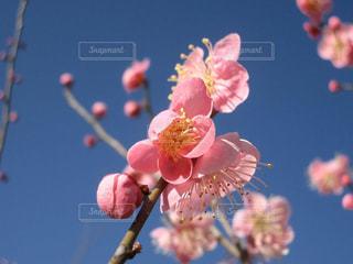美しいピンク色の梅の花の写真・画像素材[1768026]