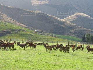 ニュージーランドの山の麓の鹿の群れ風景の写真・画像素材[1785435]