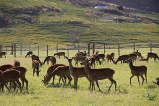 ニュージーランドの鹿の群れの写真・画像素材[1785452]