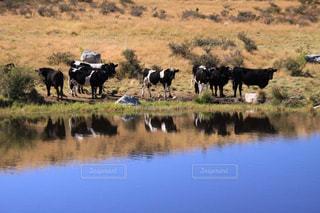 ニュージーランドの湖の牛の群れの写真・画像素材[1785455]