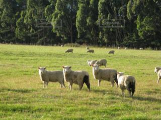カメラに視線を向けるニュージーランドの可愛い羊の写真・画像素材[1785457]