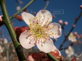 岐阜梅林公園の美しい梅の花の写真・画像素材[1788280]