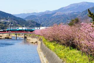 伊豆河津桜と赤色の橋の電車風景の写真・画像素材[1808093]