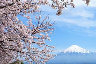 富士山と桜の写真・画像素材[1836481]