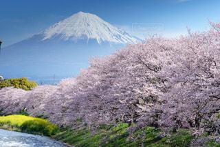 富士山と桜と菜の花の春の風景の写真・画像素材[1836488]