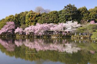 平安神宮の神苑の桜の映り込みの写真・画像素材[1836558]