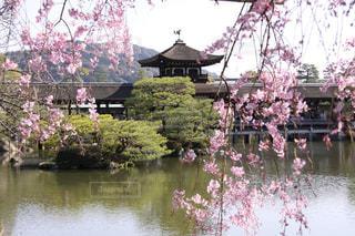 平安神宮神苑の美しい枝垂れ桜の写真・画像素材[1836584]