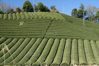 美しい月ヶ瀬みんなの茶畑風景の写真・画像素材[1867060]