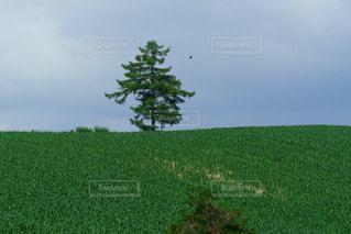 美瑛の丘に立つ木の写真・画像素材[1953256]