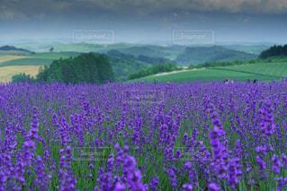美しい美瑛の丘のラベンダーの写真・画像素材[1953460]