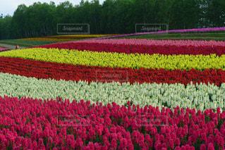一面花が咲き誇る四季彩の丘の風景の写真・画像素材[1953676]