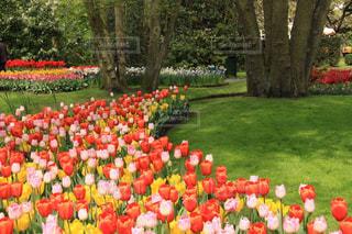 オランダキューケンホフの美しいチューリップの写真・画像素材[2023807]