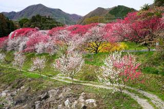 花桃の里はほのぼの色の写真・画像素材[2053854]