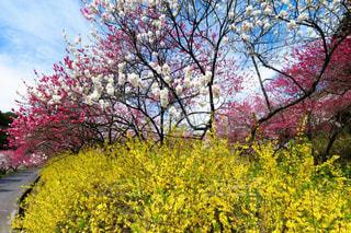 希望あふれるレンギョウと花桃風景の写真・画像素材[2062120]